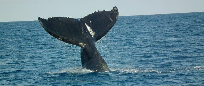 Défense de la ZEE de Tromelin : Philippe FOLLIOT saisit le Ministère de la Transition écologique et Solidaire sur la chasse à la baleine